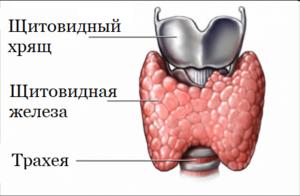 Остопатия щитовидная железа